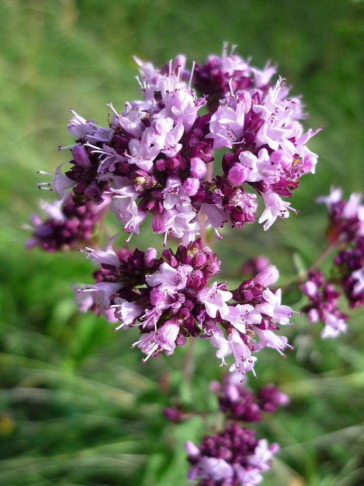 farigola, flors silvestres alemany, floretes, espècies, planta medicinal, Prat, l'estiu