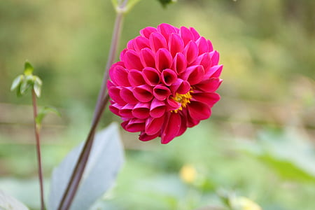 flower, sweet potato flowers, flowers and plants, nature, plant, pink Color, petal