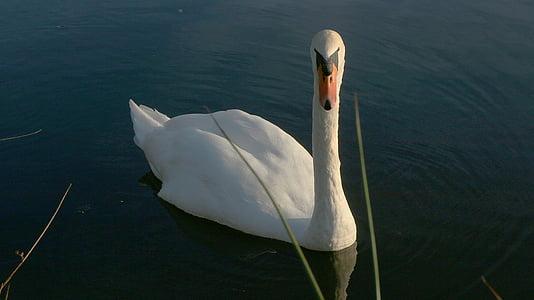 swan, pond, white, animals, water, majestic, animal