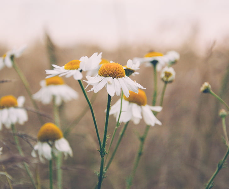 daisy, daisies, flowers, nature