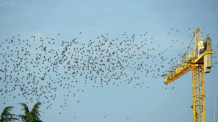 ramat d'ocells, Grua, volar, Au migratòria, aus migratòries, sortida, punt de trobada