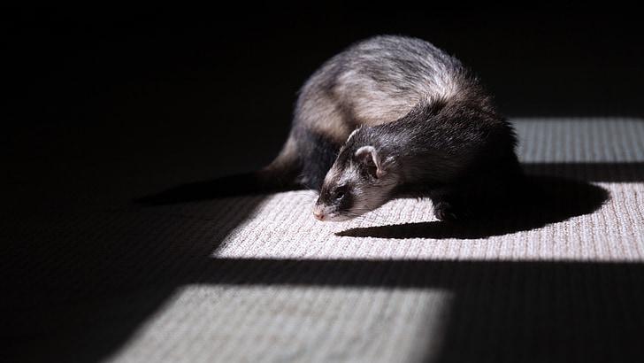 ferret, animal, pet, mammal, domestic, furry, funny