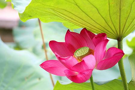 Lotus, pluja, hongluosi, flor, natura, fulla, frescor