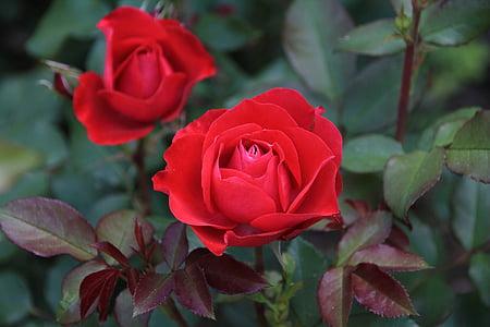 Rosa, vermell, flor, flor rosa, flor, flor, pètals de Rosa