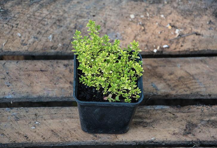 farigola, plantes, natura, planta, creixement, fulla, color verd