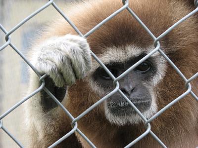 Lèmur, mico, natura, mamífer, primats, en perill, Retrat