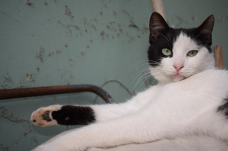 mačka, čierna, biela, zelené oči, PET, zviera, Zelená
