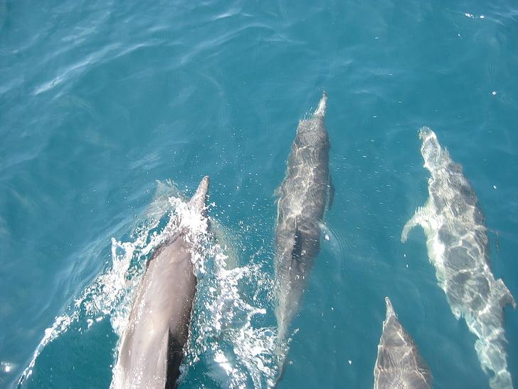 delfines, Océano, azul, Pacífico, nariz de botella