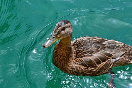 патица, зеленоглава патица, женски, езеро, патица птица, перушина, вода птица