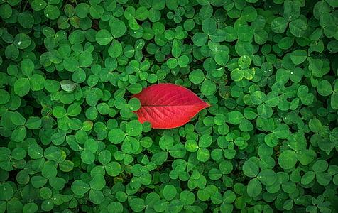 φύλλα, φθινοπωρινά φύλλα, το φθινόπωρο, βότανο, το τριφύλλι, τριφύλλι, Καλή τύχη