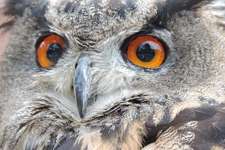 бухал, птица, Евразия европейски бухал, Нощна, Соколарство, раптор, птици