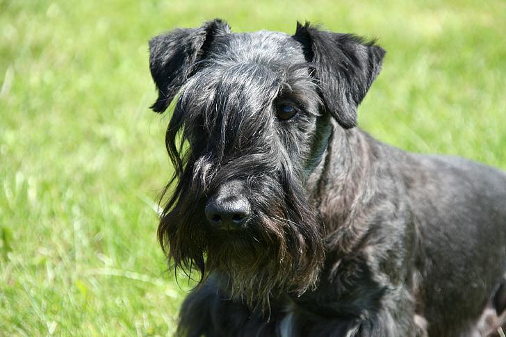 Cesky terrier, Bohemian terrier, chó săn Terrier, đầu gương điển hình, con chó, vật nuôi, Schnauzer
