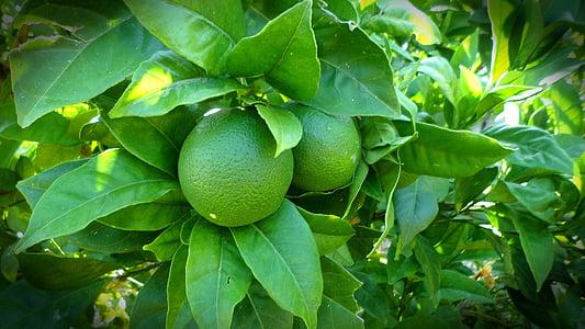 limão, árvore, limão, verde, natureza, planta, folha
