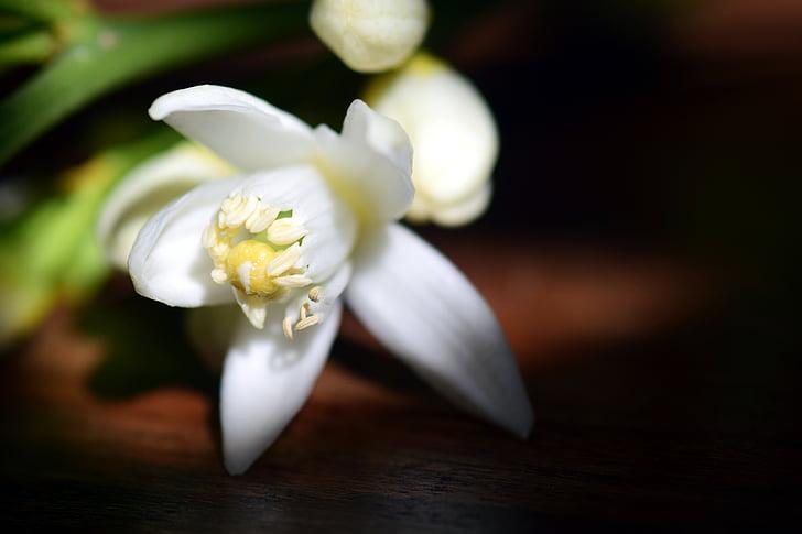 flor, flor, flor de llimona, blanc, tancar, Mediterrània, natura