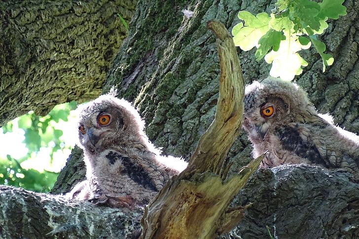 eagle owl, raptor, owl, bird of prey, young owl