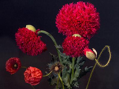 flowers, poppy, poppy flower, gardening poppy, nature, plant, red