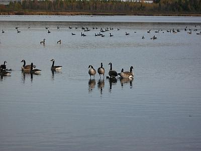 ガチョウ, 水鳥, 鳥, 野生動物, カナダ, アウトドア, 羽