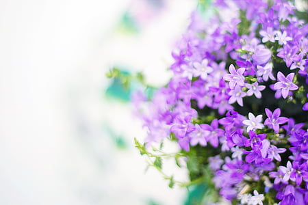 purple flowers, spring, summer, background, backdrop, white space, nature