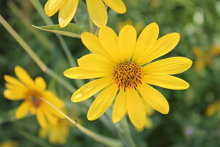 gele bloem, Tuin, Botanische, Flora, bloem, Bloom, Blossom