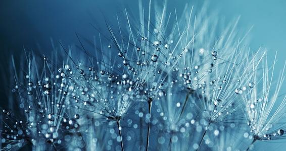 pitypang, magok, virág, természet, nyári, tavaszi, növény