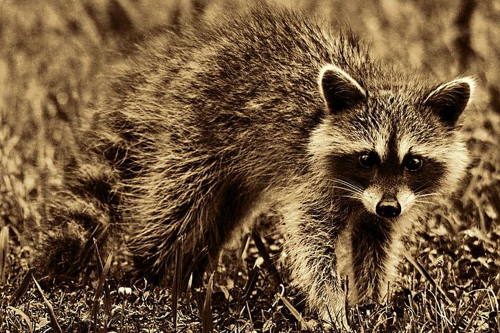 raccoon, animal, mammal, furry, cute, retro look, retro