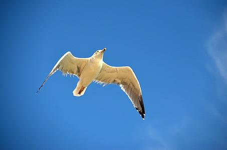 Gavina, blau, ocell, Gavina, Mar, marítim, cel