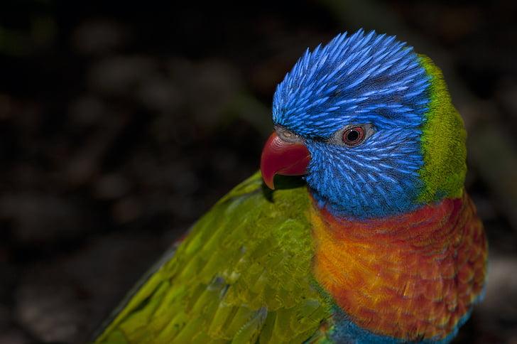 rainbow lorikeet, rainbow parrot, parrot, colors, beak, bird, animals