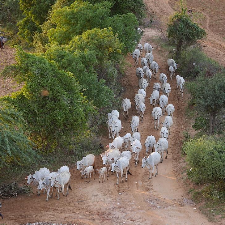 kráv, kravy, Flock, Barma, Mjanmarsko, dojnice, hovädzí dobytok