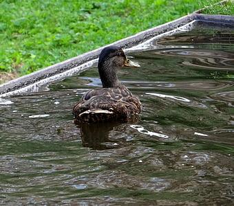 duck, water bird, water, bird