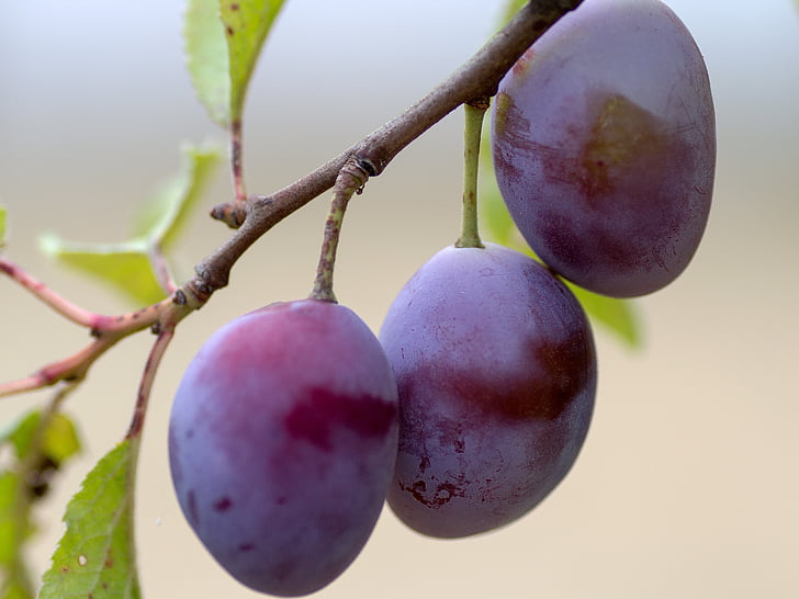 fruita, prunes, branca, pruna, violeta