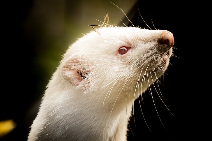 ferret, animals, animal welfare, animal, mammal, cute