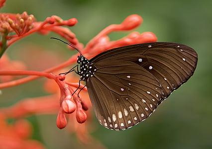 Gestreepte kern, vlinders, vlinder, bruin, insect, dier, natuur