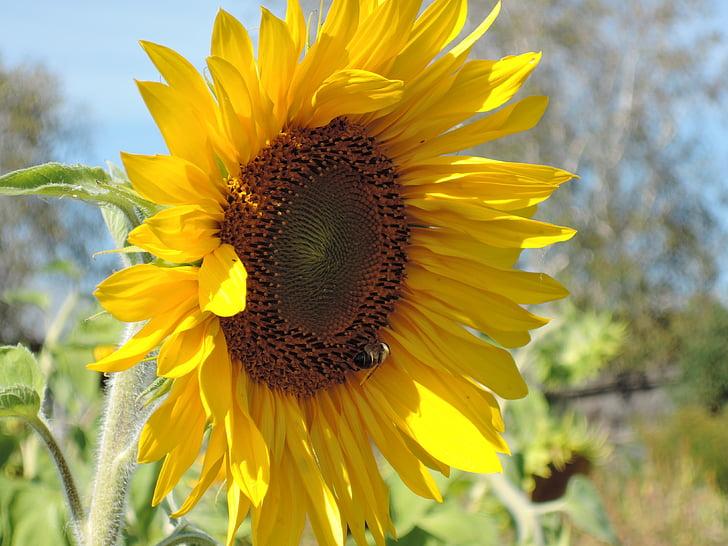 подсолнечник, Семена подсолнечника, Осень, Сад, урожай