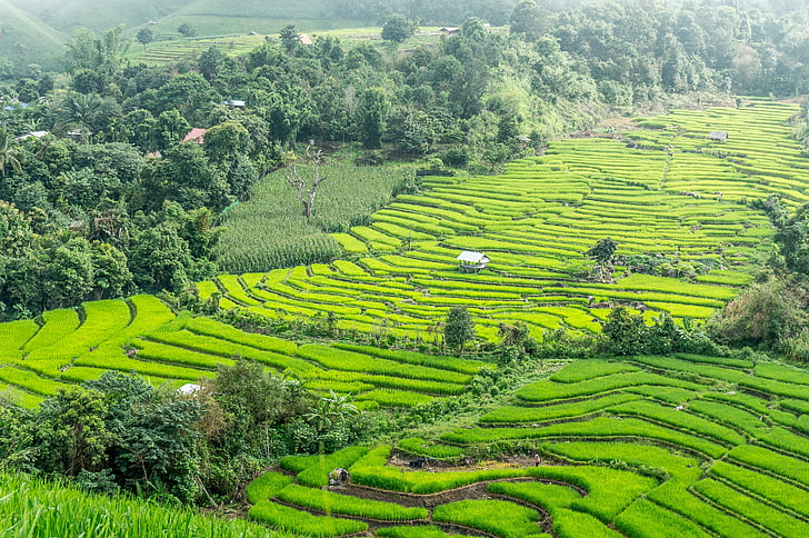 rice terraces, thailand, chiang mai, rice, field, landscape, agriculture