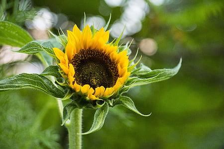 loodus, taim, lill, roheline, kollane, suvel, Aed
