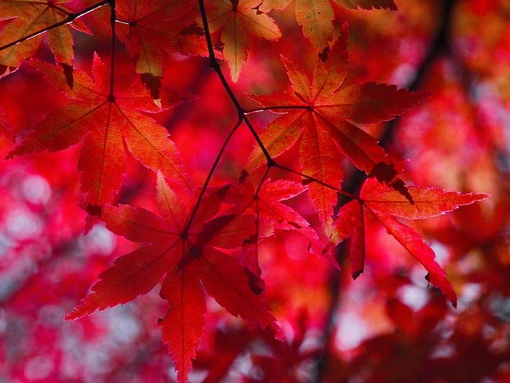 jesensko listje, jeseni, aomoriya, zvezdice resort, javor, Aomori, Japonska