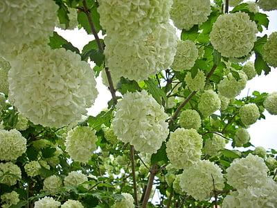 snow ball, blossom, bloom, viburnum, bush, nature, plant