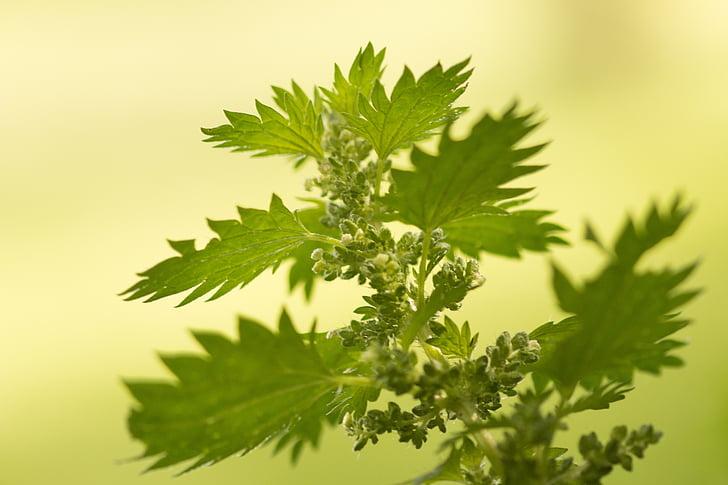 urtiga, Urtica, Urticaceae, urtiga, folha, erva medicinal, erva selvagem