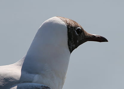 gavines, Gavina negre es va dirigir, Chroicocephalus ridibundus, espècies, espècie de gavina, ocell d'aigua, animals