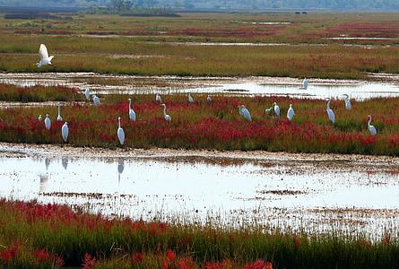 store hvite herons, spredning, Starr, Beleiringen, vannfugler, kraner, våtmarker