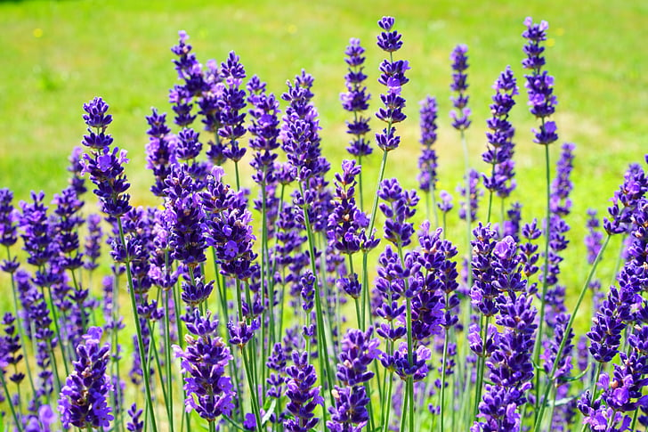 Levanda, levandų krūmas, levandų bush, gėlės, gėlė, violetinė, violetinė