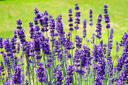 lavanda, arbust de lavanda, arbust de lavanda, flors, flor, porpra, violeta