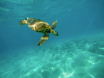 páncél, tengeri teknős, óceán, tenger, tengeri teknős, úszás, trópusi