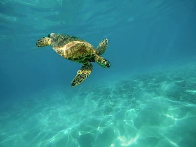 carapaça, tartarugas marinhas, oceano, mar, tartarugas marinhas, natação, tropical
