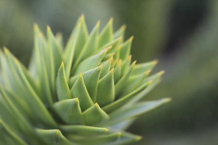 biljka, vrt, lišće, zelena, oštar, sočan biljka, priroda