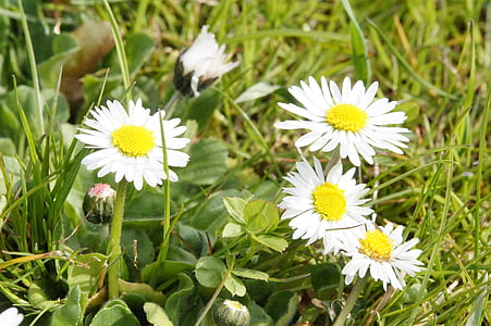 daisy, flowers, meadow, wildflowers, spring, nature, blossom