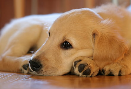 puppy, dog, pet, hundeportrait, lying, young, pets