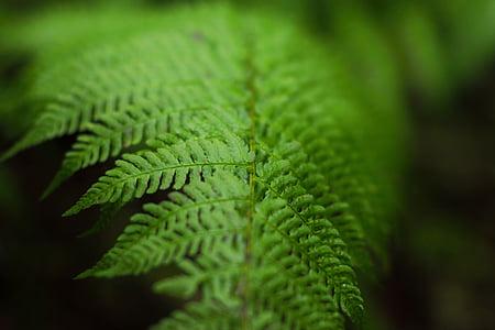 verd, fulla, fotografia, Falguera, plantes, color verd, natura