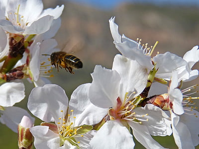 vol d'abella, abella, volant, pol·len, Libar, flors d'ametller
