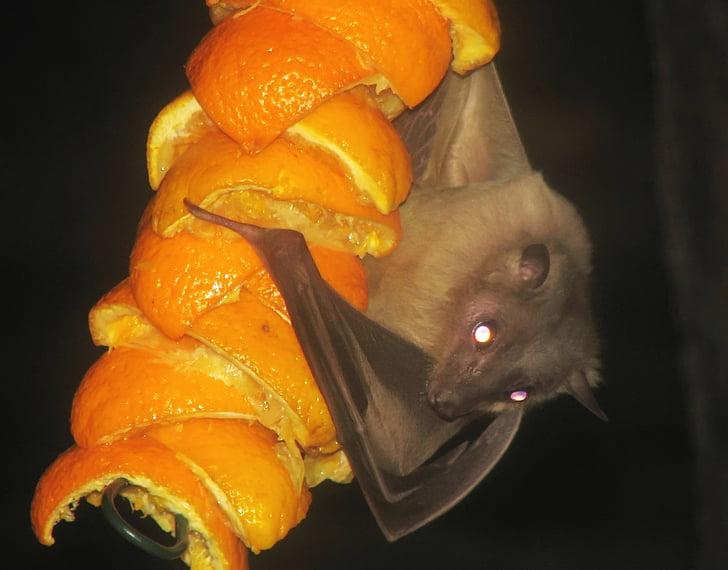 fruitbat egipci, Ratpenat, fruitbat, mamífer, penjant, fruita, taronges